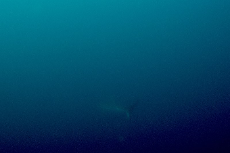 魚が群れ群れ!!カマストガリ、ハンマーも...@神子元