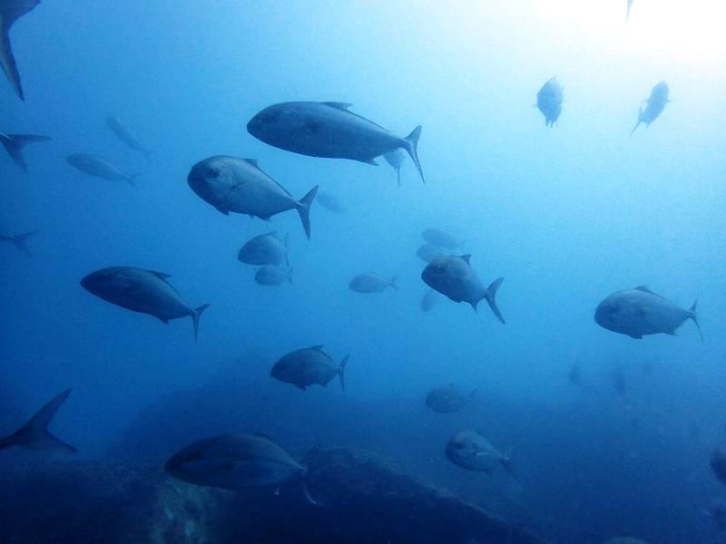 大迫力の回遊魚@神子元ハンマーもいたよ。