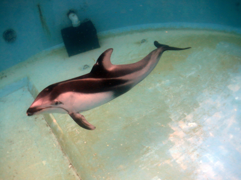 カマイルカのドルフィンダイビング@下田海中水族館