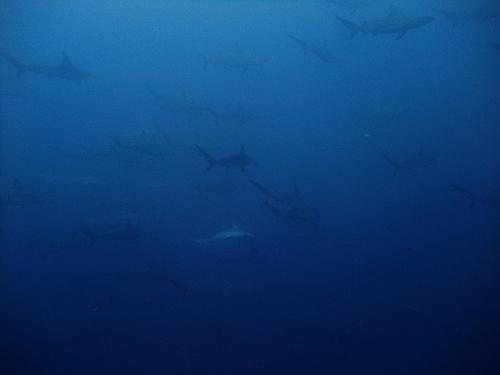 黒潮の青とハンマー大群れ。@神子元