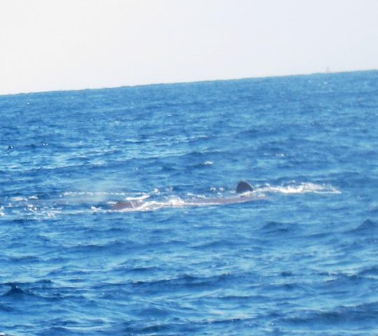 海上よりクジラ群れ&イルカ・・・そして水中ではハンマー@神子元