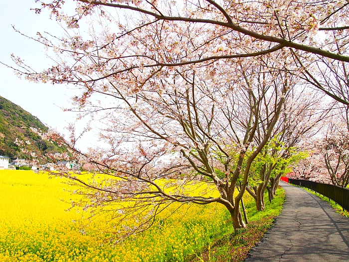 桜も咲き始め....@神子元