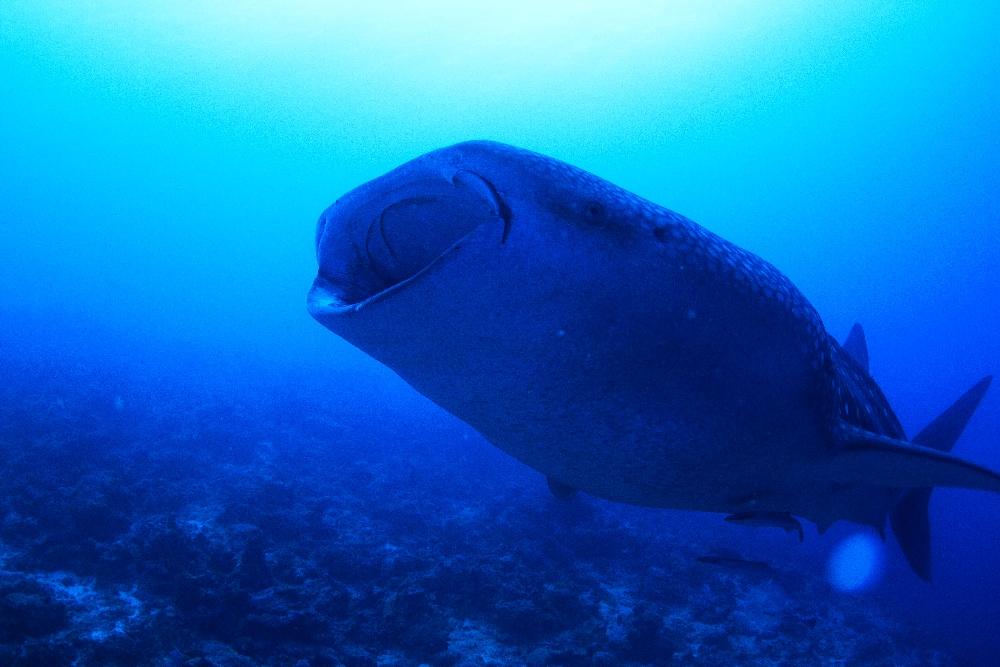 ガーフ環礁SPクルーズ&GWも乗船決定!!@モルディブ