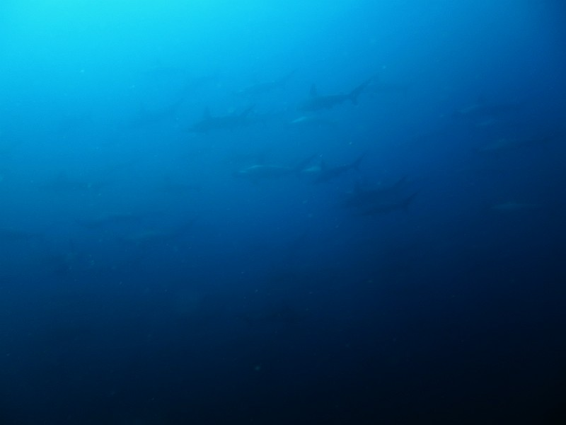 ハンマー群れ!!水中イルカも登場!!@神子元