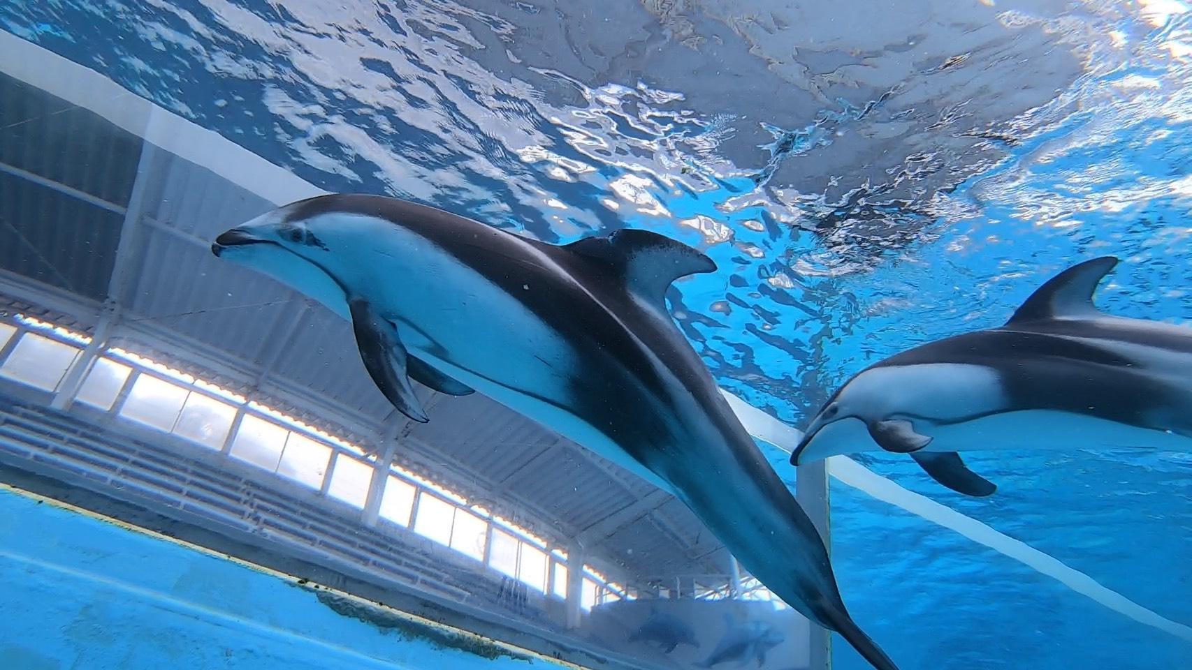 興奮状態のイルカ達!@下田海中水族館